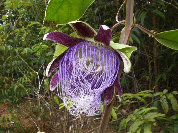 Passiflora Longifilamentosa Joao Batista Fernandes Da Silva Rainforest Flowers Rainforest Plants Rainforest