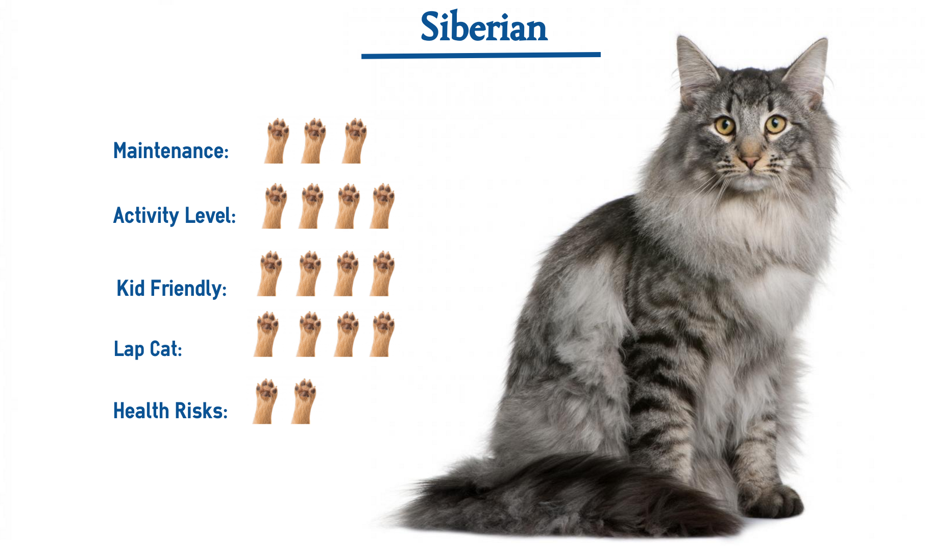 Siberian Cat Breed Cat Breeds Siberian Cats For Sale Siberian