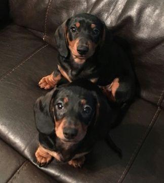 Litter Of 2 Dachshund Puppies For Sale In Lynchburg Va Adn 19775