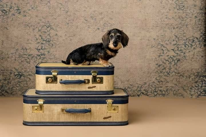 Dachshund Wirehaired Puppy (With images) Dachshund puppy