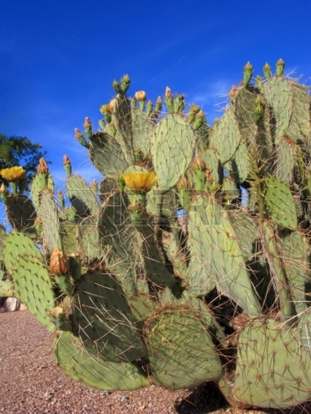 Arizona Prickly Pear Or Paddle Cactus With Yellow Flowers In Wip