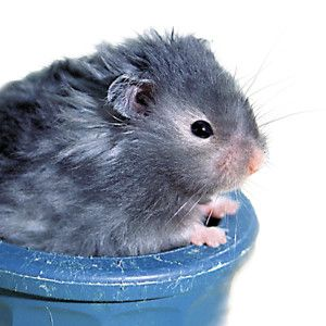 LongHaired Hamster Long haired hamster, Cute small