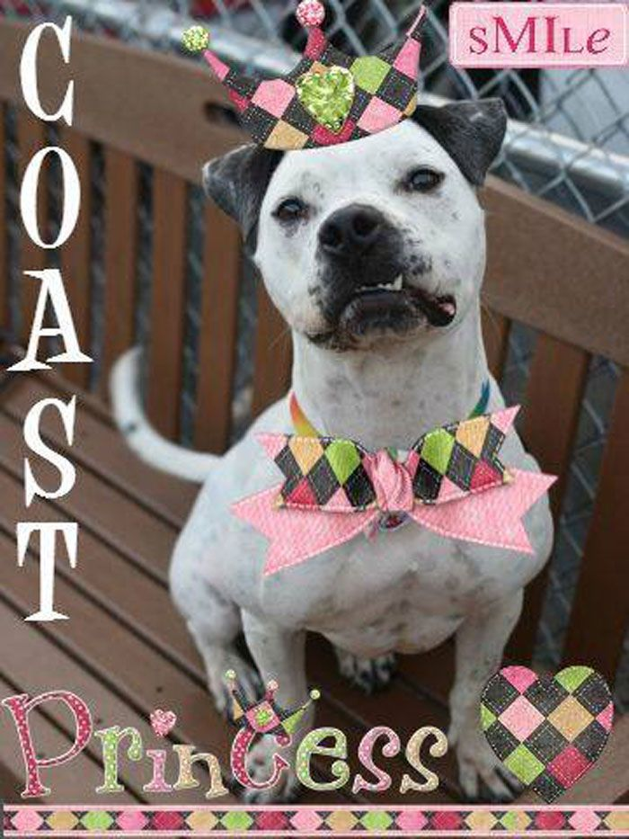 """Bristol, PA """"Hi, I'm Coast! I am a 2 year old petite, lady-like and dainty pit mix (so I'm told), that weighs about 55 lbs. My foster family says I appear to be mixed with Dalmatian since my pattern of black spots and white fur is so prominent. Or, at least I *look* more like a"""
