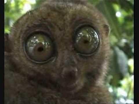 Tarsier creepy eyes.