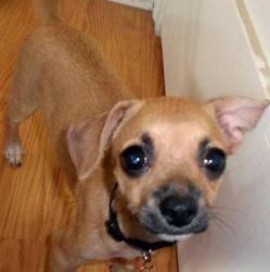 Sammy Is An Adoptable Pug Dog In Fullerton Ca Meet Sammy