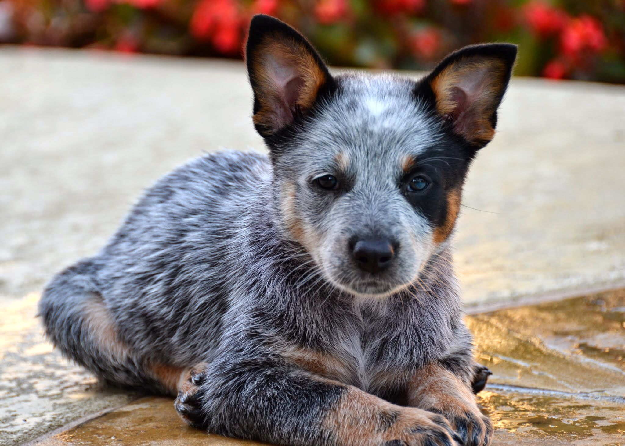 my baby blue heeler juno jovi austrailian cattle. Black Bedroom Furniture Sets. Home Design Ideas