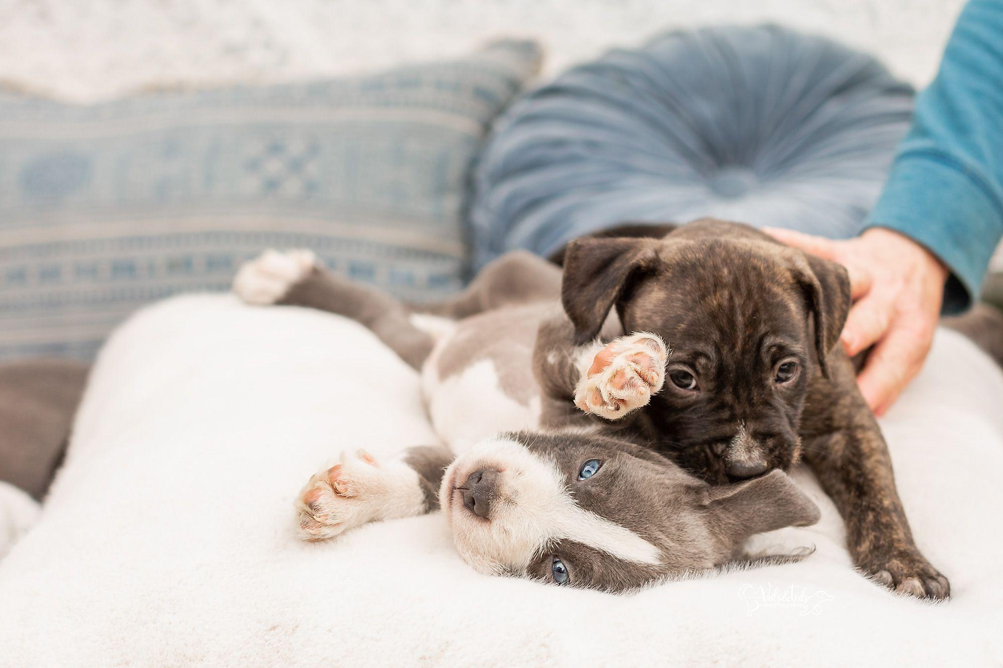 Pitbull puppies for adoption colorado