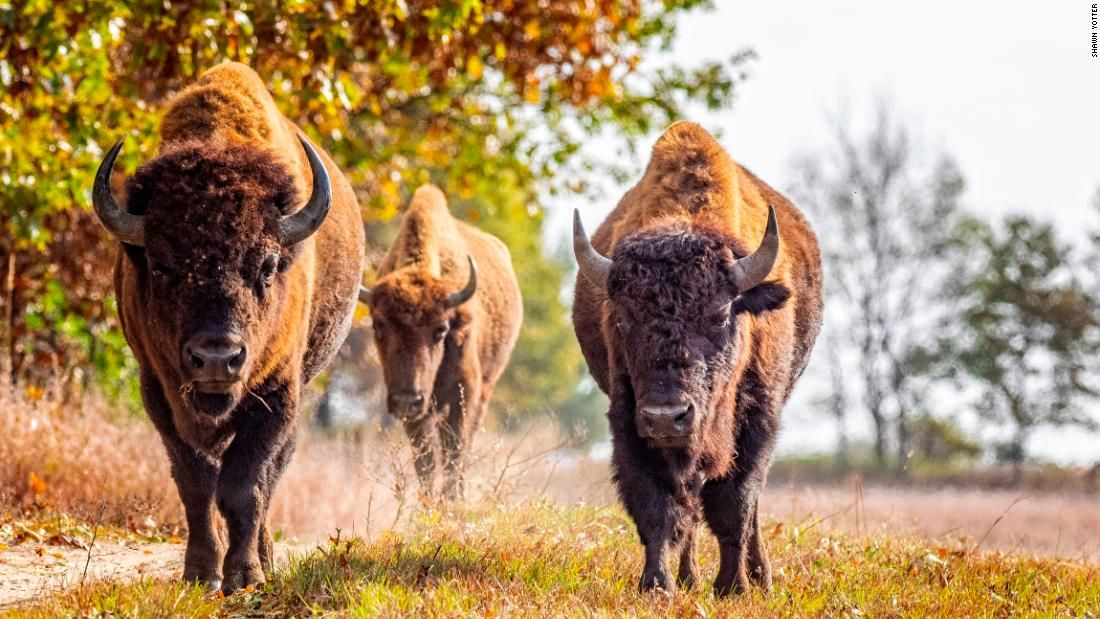 How bison are bringing life back to the prairie Prairie
