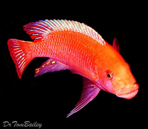 Red Zebra Cichlid Lake Malawi Fresh Water Fish Tank Tropical Fish Tanks Cichlid Fish