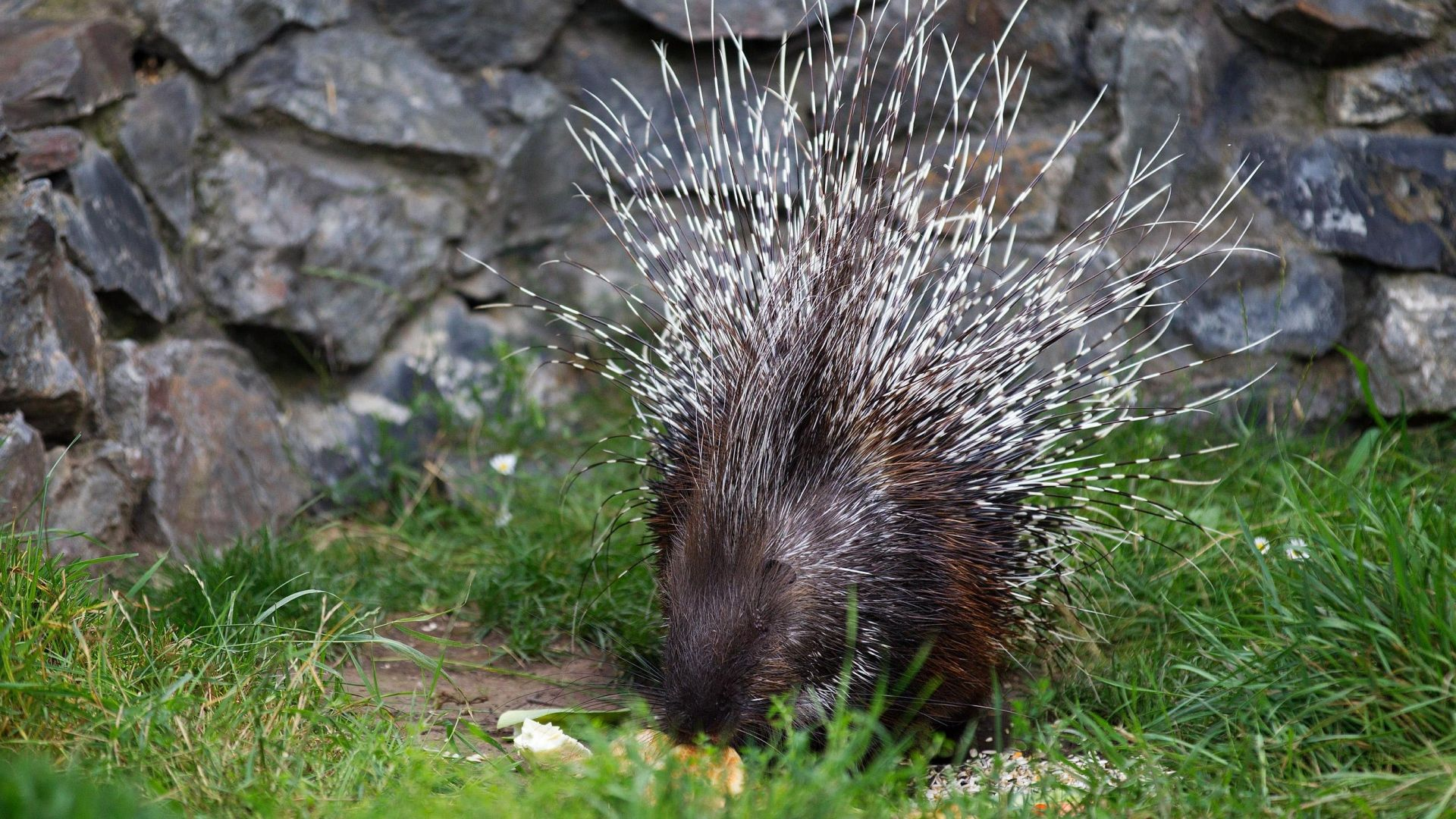 porcupine, food, thorns - http://www.wallpapers4u.org/porcupine-food-thorns/