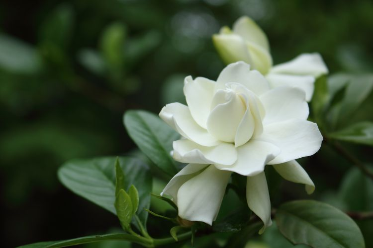 Why Your Gardenia Has Yellow Leaves Plants Dwarf Gardenia Yellow Leaves