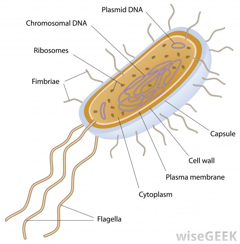 What Is A Unicellular Organism With Pictures Study Biology Biology Worksheet Prokaryotic Cell