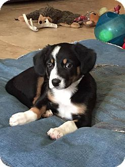 Phoenix Az Border Collie Beagle Mix Meet Katniss A Puppy For