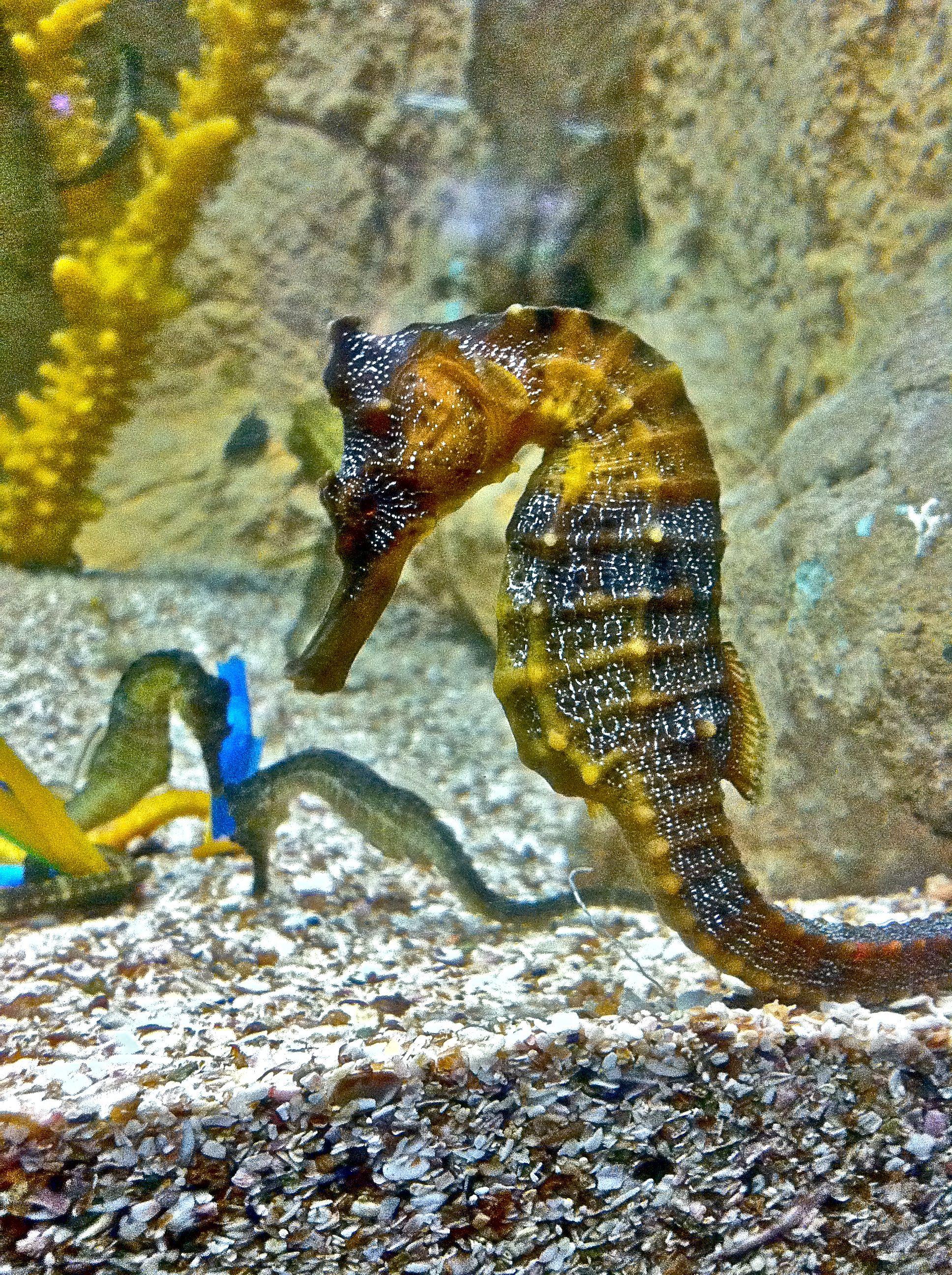 Sea Horse photograph taken at the Aquarium in Mazatlan - Mexico ...