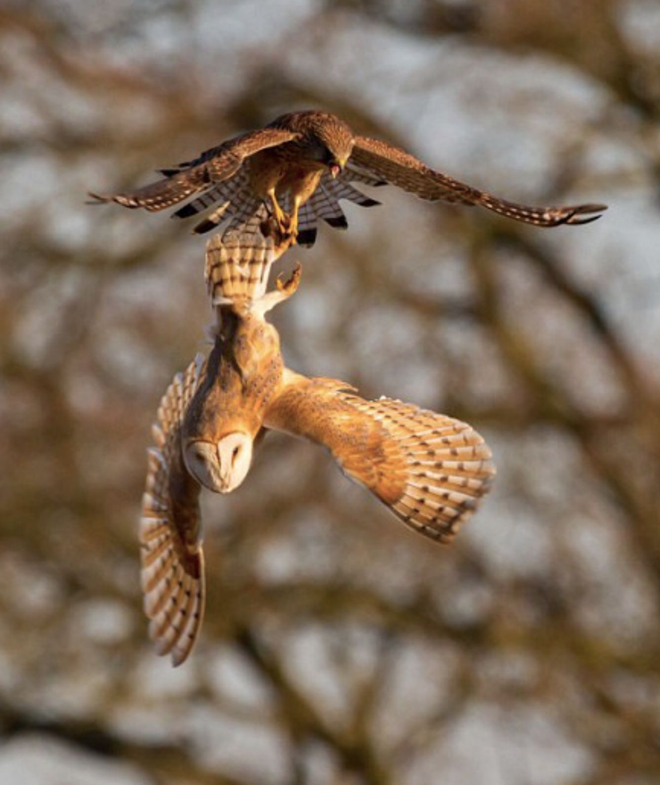 In England A Kestrel And Barn Owl Fight Over Dinner The Had Caught Vole Nearby Field Was Taking It Home When Swept
