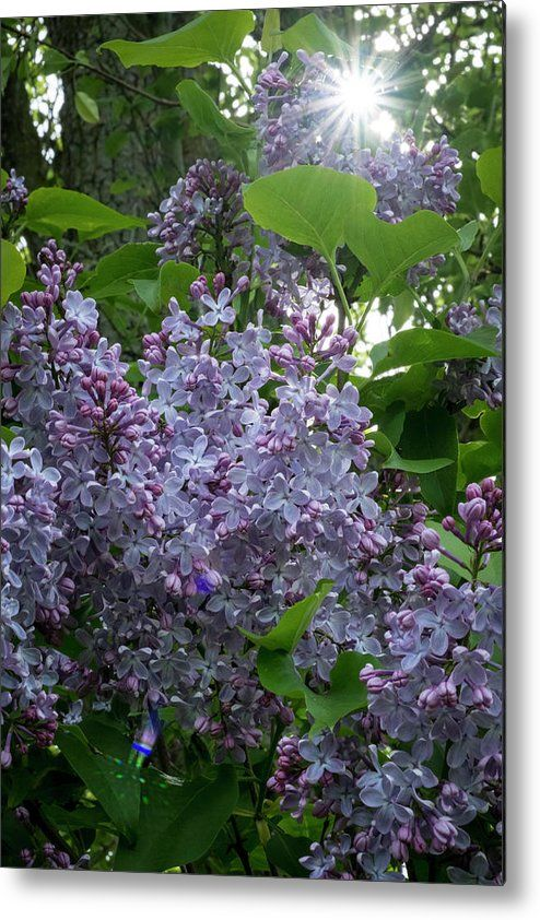 Flowers Metal Print Featuring The Photograph Lilacs And Sunshine By Mary Lee Dereske Shop Maryleephoto Com For Fine Ar Fine Art Photo Plant Art Flower Artwork