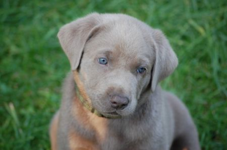 My future dog Silberner labrador, Tiere