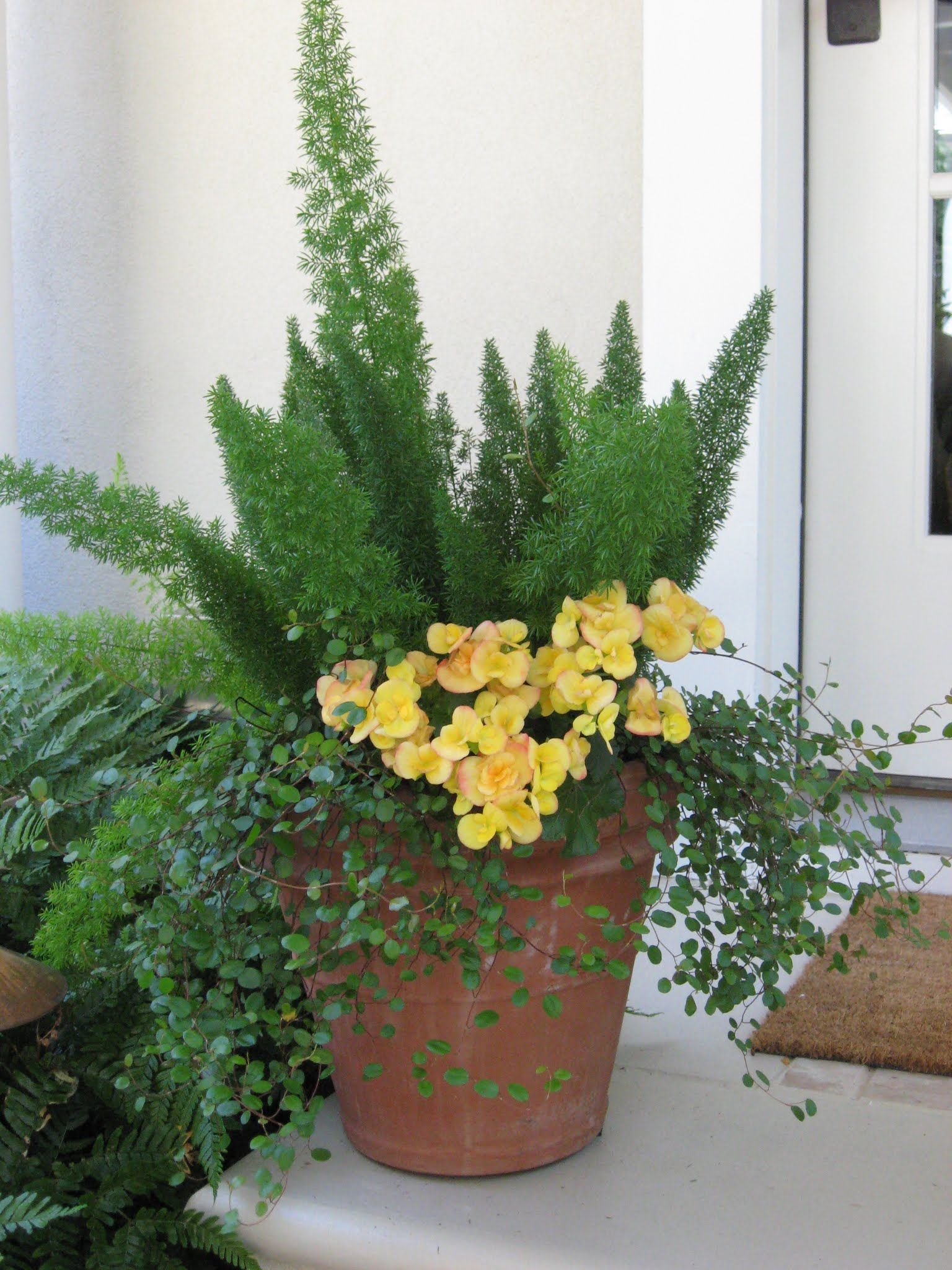 Potted Plants And The Necessary Spring Care: Foxtail Asparagus Fern, Tuberous Begonia, Thread Vine