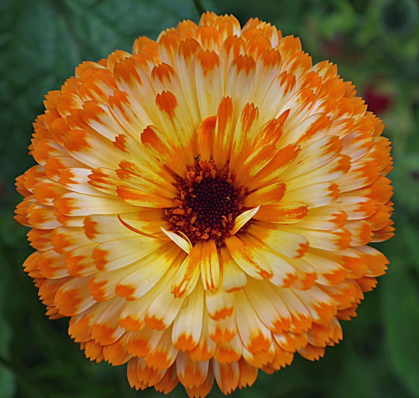 Orange and Cream Bicolor Calendula (Calendula officinalis