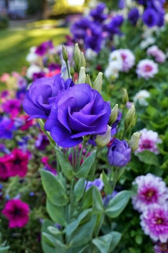 Salt Lake City Utah Beautiful Flowers Purple Flowers Pretty Flowers