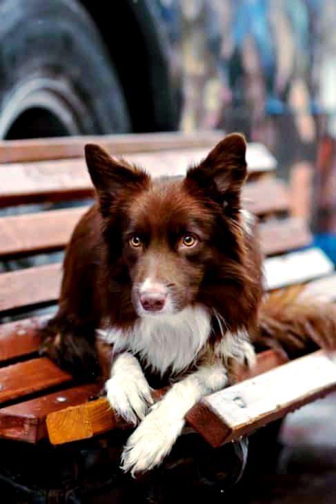 border collie hund charakter ernährung pflege