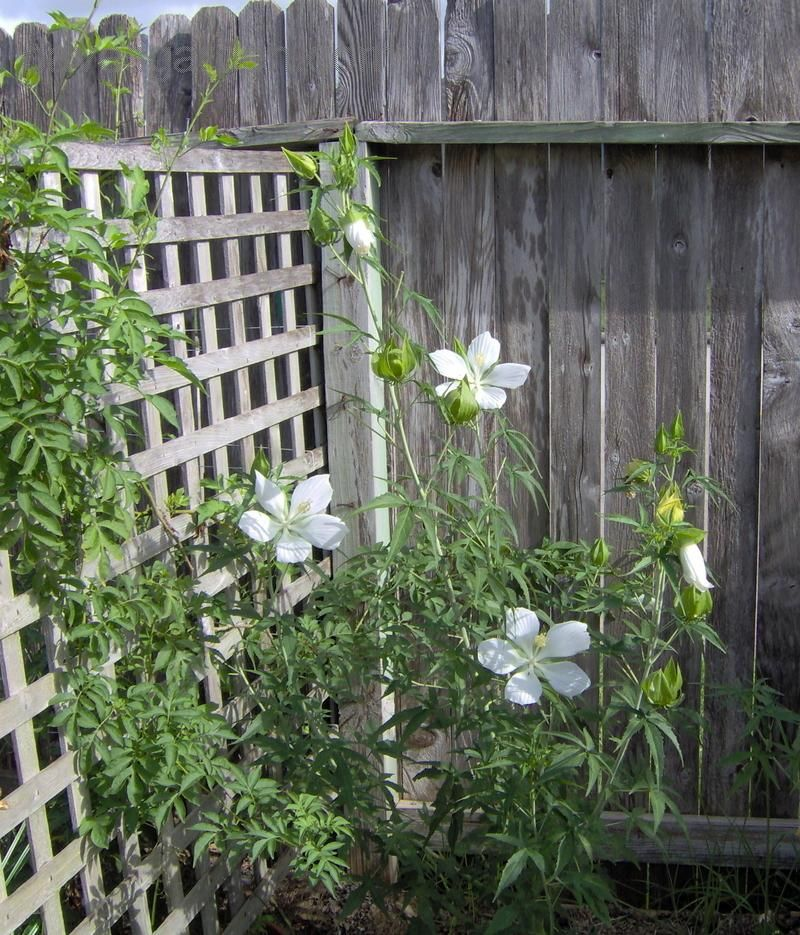 White Texas Star Hibiscus Alba Front Right Our Gahden White