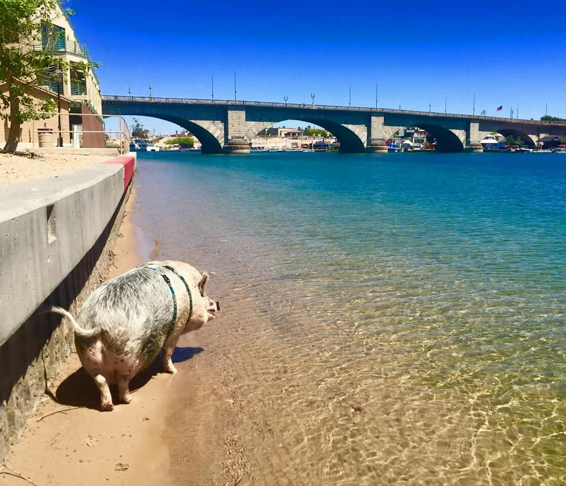 Ziggy The Traveling Piggy Visits The London Bridge In Lake Havasu