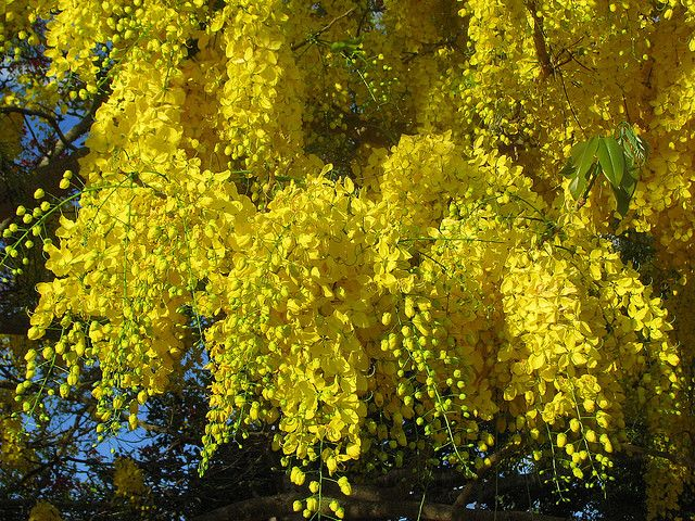Yellow Flowering Trees Flowering Trees Tree With Yellow Flowers Golden Chain Tree