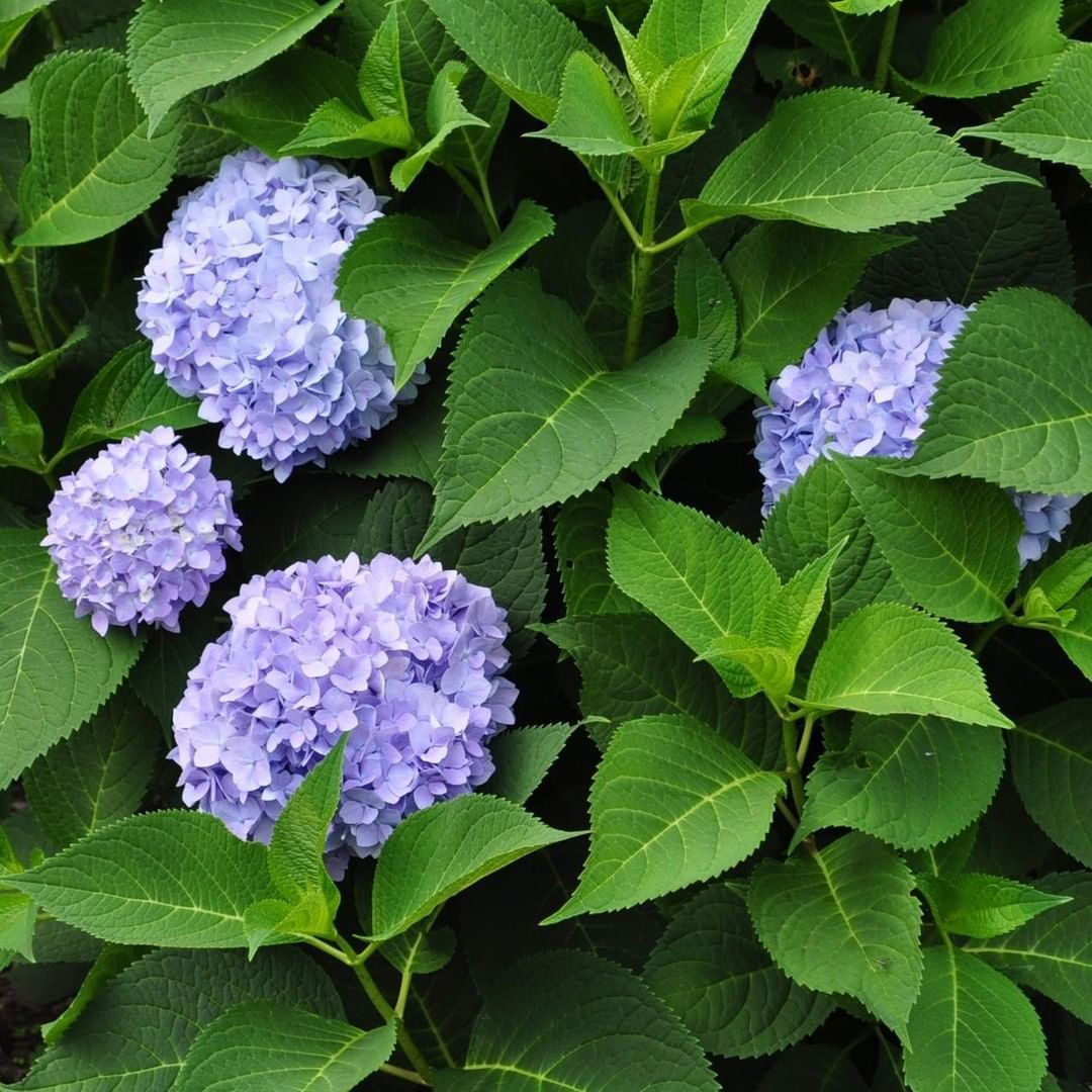 Gardener S Supply On Instagram Make Sure To Prune Your Hydrangea At The Right Time Or Risk Removing Precious Flo Flower Bud Garden Supplies Flowers