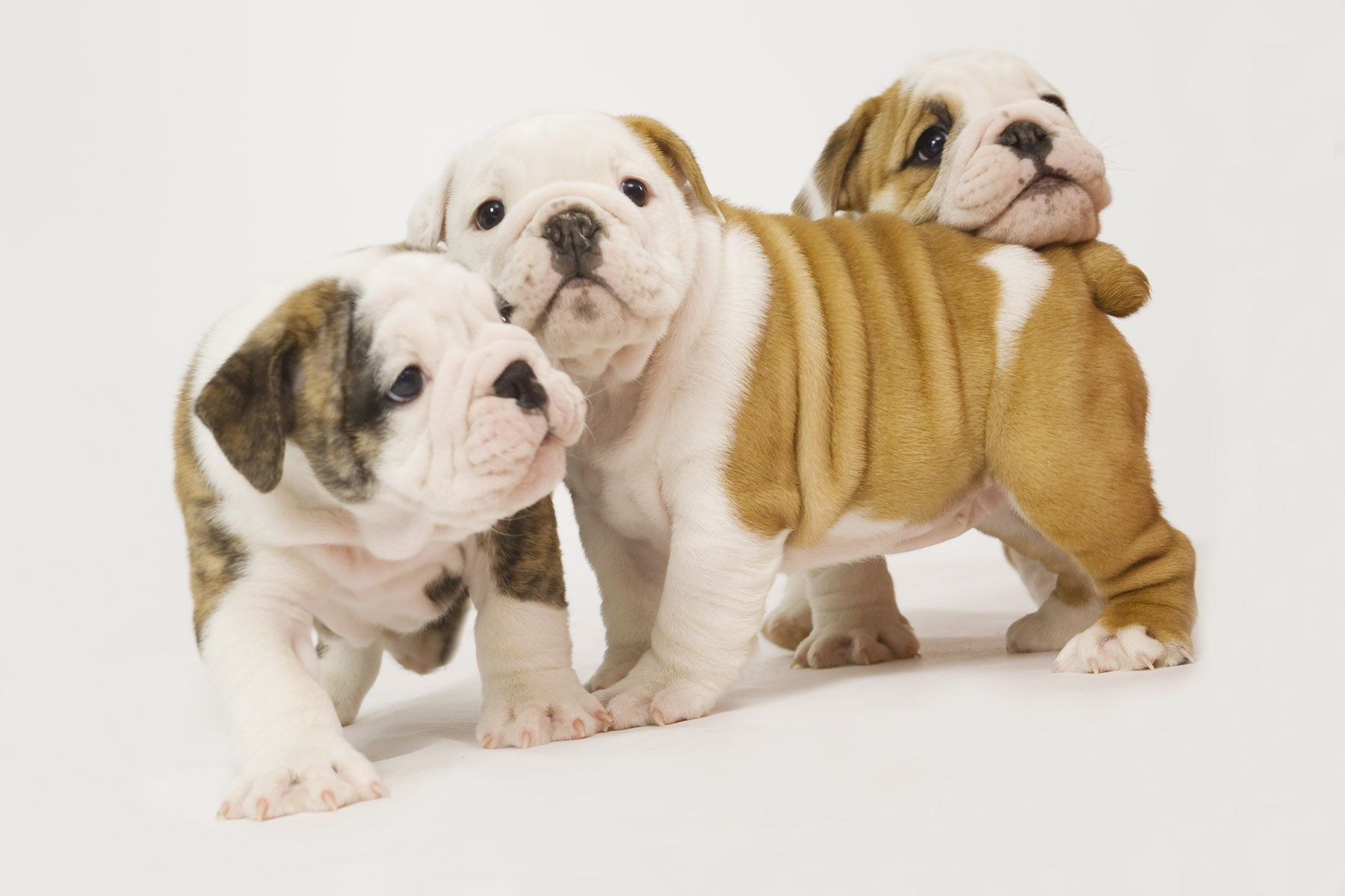 Oh My Heart I Want All 3 Of Them Dogs And Puppies Bulldog