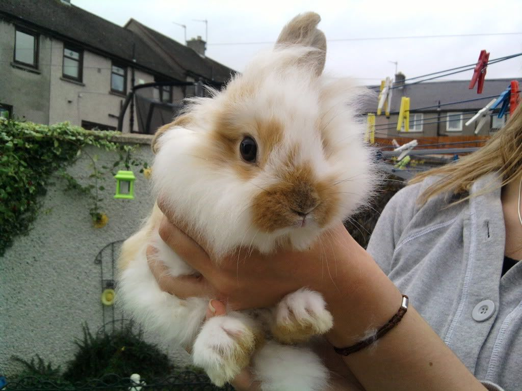 Lionhead Rabbit | My lion head rabbit... Leontis,Alice and ...