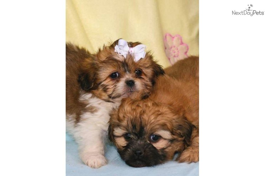 Free Teacup Shih Tzu Puppies Meet Chanel A Cute Shih Tzu Puppy