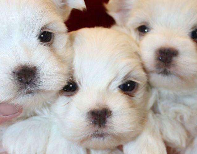 Cherub Maltese Breeders Of Top Quality Maltese Puppies Since 1979