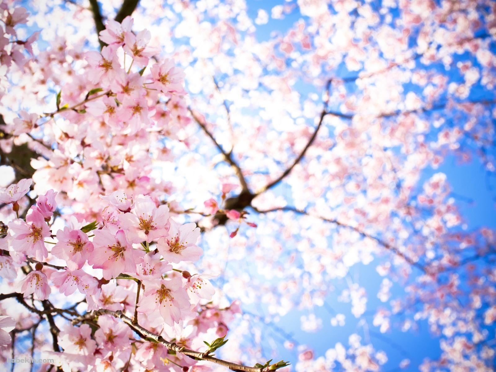 青空 下から見上げた桜の壁紙 桜の壁紙 風景 風景写真