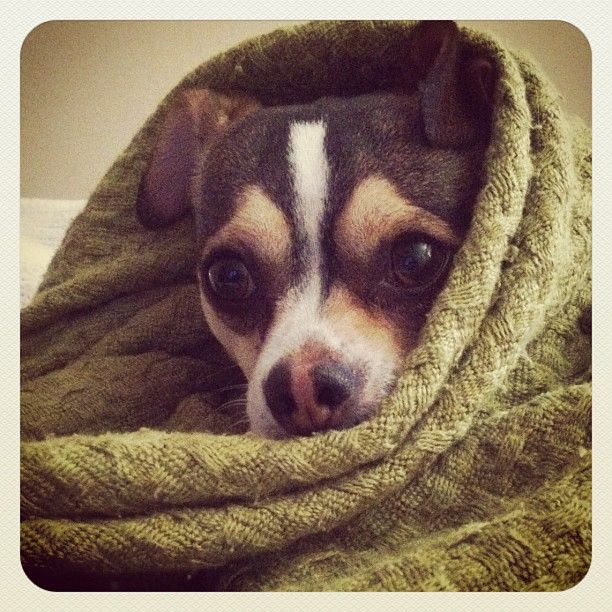 All Bundled Up On A Cold Morning Dog Chihuahua