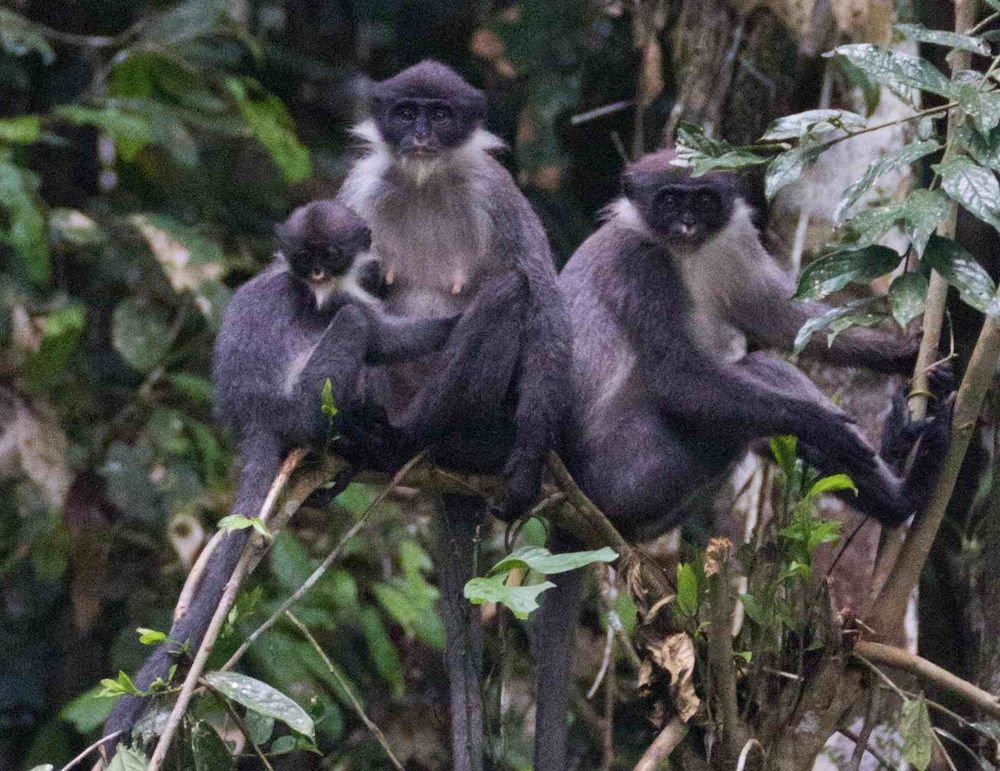 Monkey Feared Extinct Rediscovered Endangered Animals Amazon