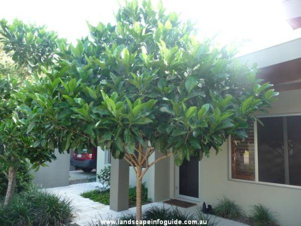 Native Gardenia For Top Of Back Garden Near To Jo S