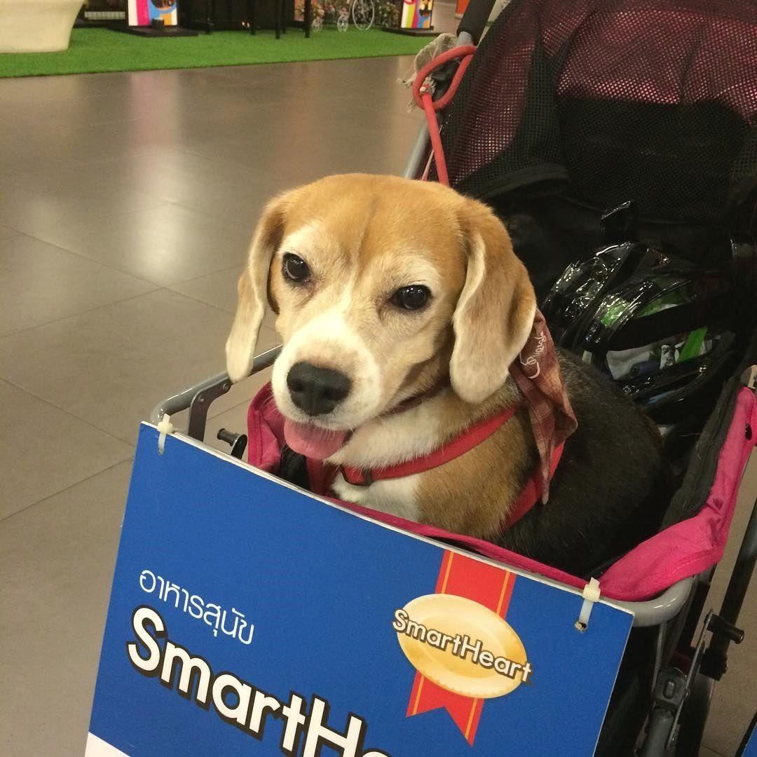 Family funday fun dog beagle doglover love picoftheday hkig