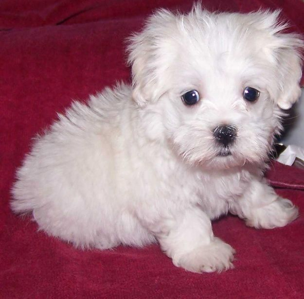 maltese dog Maltese puppies for sale uk kennel club and