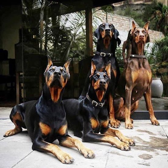 The Amusing Picture Collective Doberman Dogs Dog Pounds Doberman