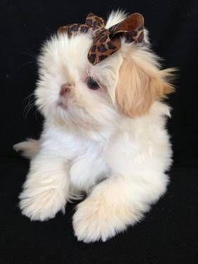 Akc Imperial Shih Tzu Puppies Shih Tzu Puppy Cute Animals Shih Tzu