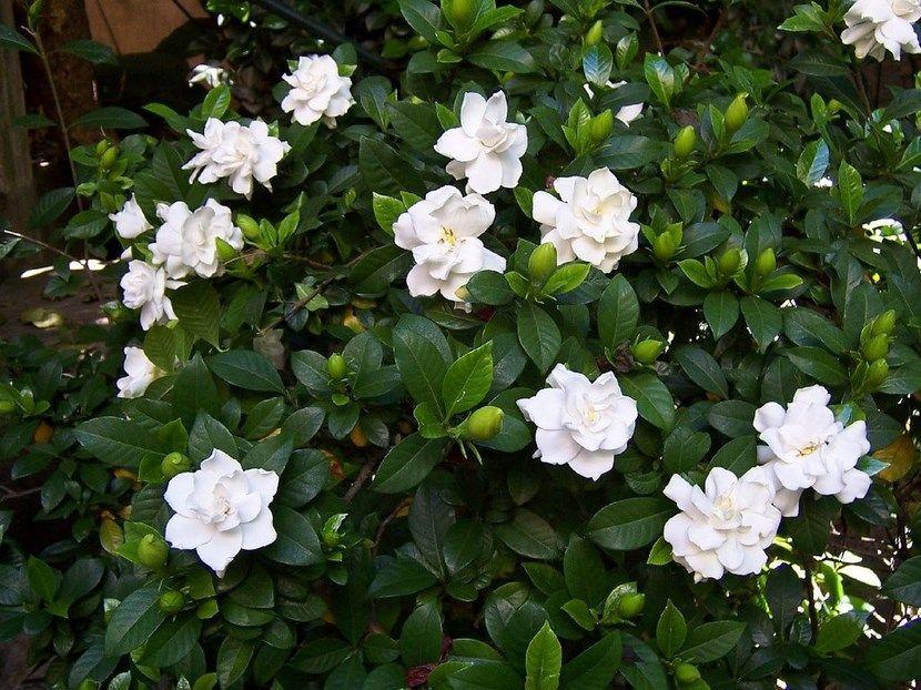 consejos para cultivar jazmines | consejos, bonitas y jardín de fresas