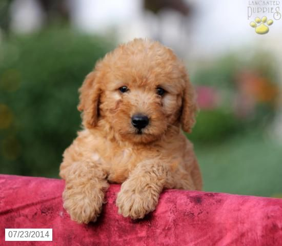 Cool Labradoodle Chubby Adorable Dog - 0c32632efb38011d894d625a35df6fbb  HD_914076  .jpg