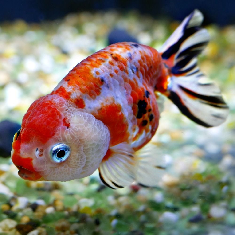Goldfish For Sale Online All Pictures Are Taken By Windsor Fish Hatchery They Are Of The Exact Koi You Will Receive Li Goldfish For Sale Goldfish Fish Hatchery