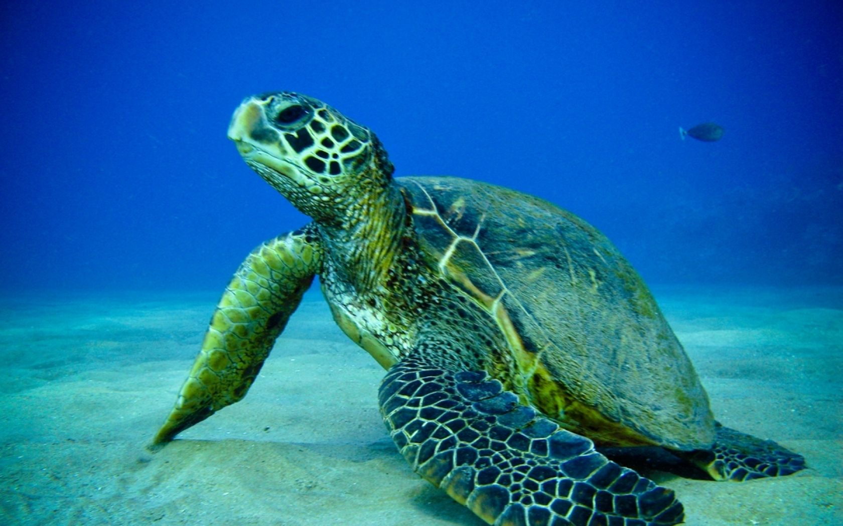 Image of: Deep Sea Wallpapers Abstract Turtle Ocean Animals Fish Turtles Sea Pinterest Wallpapers Abstract Turtle Ocean Animals Fish Turtles Sea
