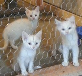 Adopt Snowflake On Paws Rescue White Kittens Short Hair Cats