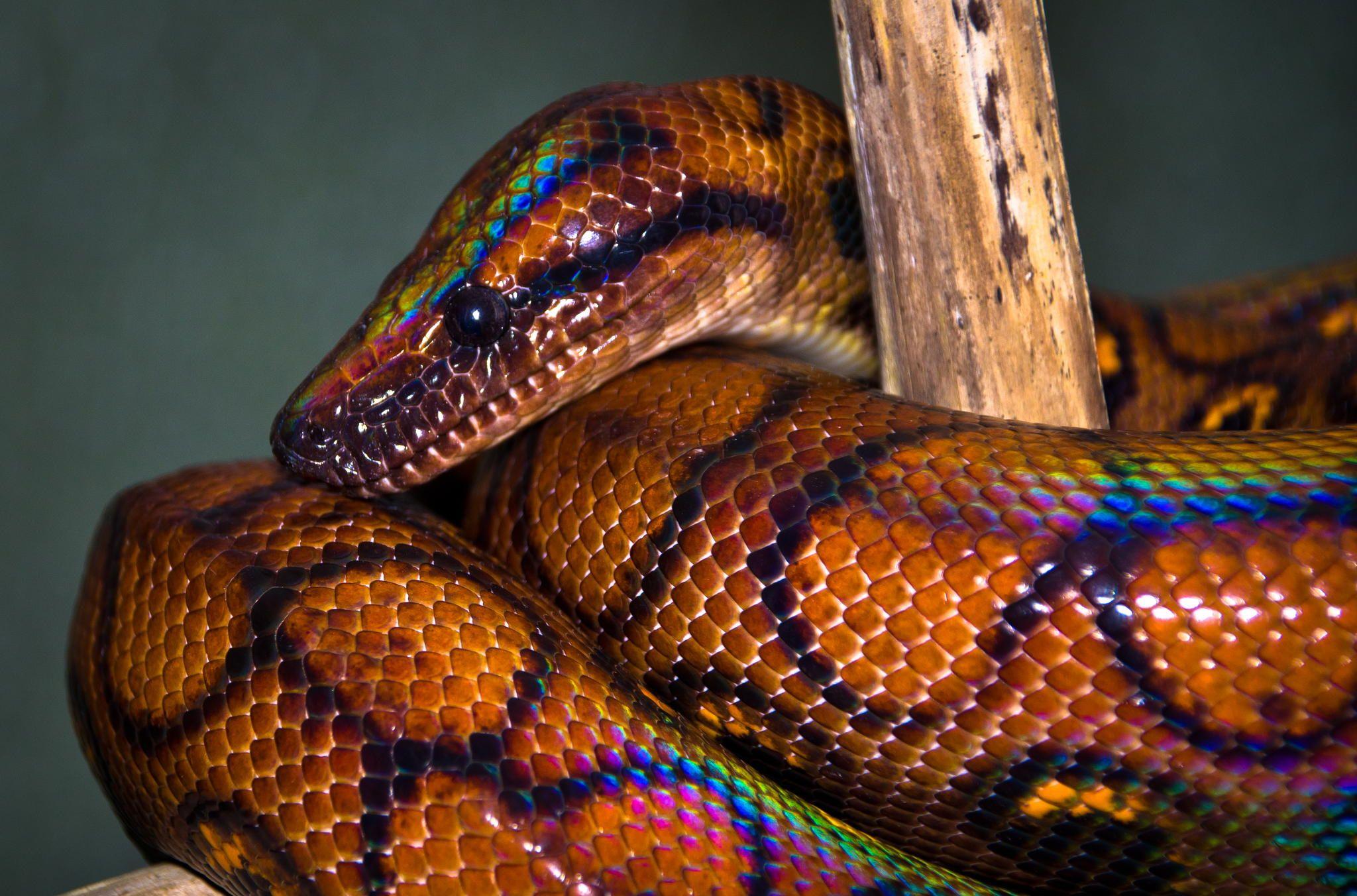 Rainbow Boa Google Search Pet Snake Snake Brazilian Rainbow Boa