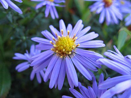 Symphyotrichum Laeve Wikipedia In 2020 Types Of Blue Flowers Missouri Botanical Garden Plants