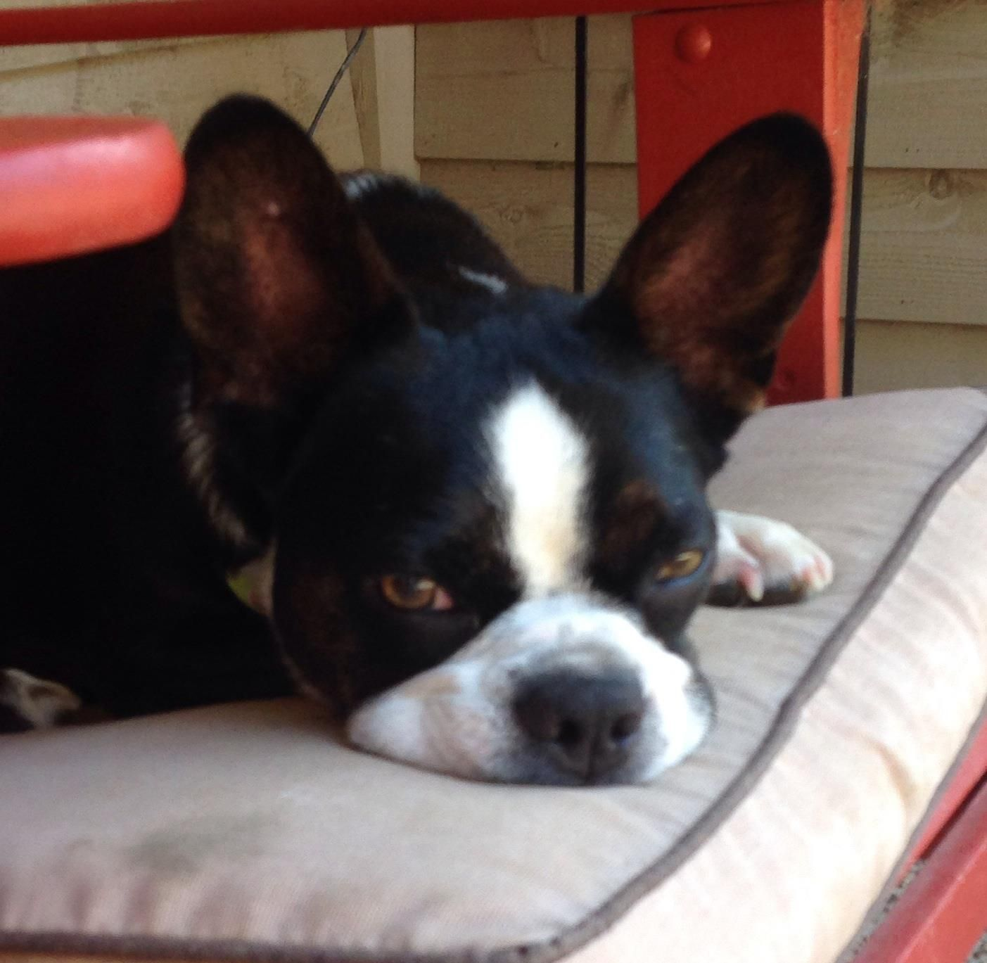 corgi boston terrier corky is available boston terrier corgi mix how cute is 3027
