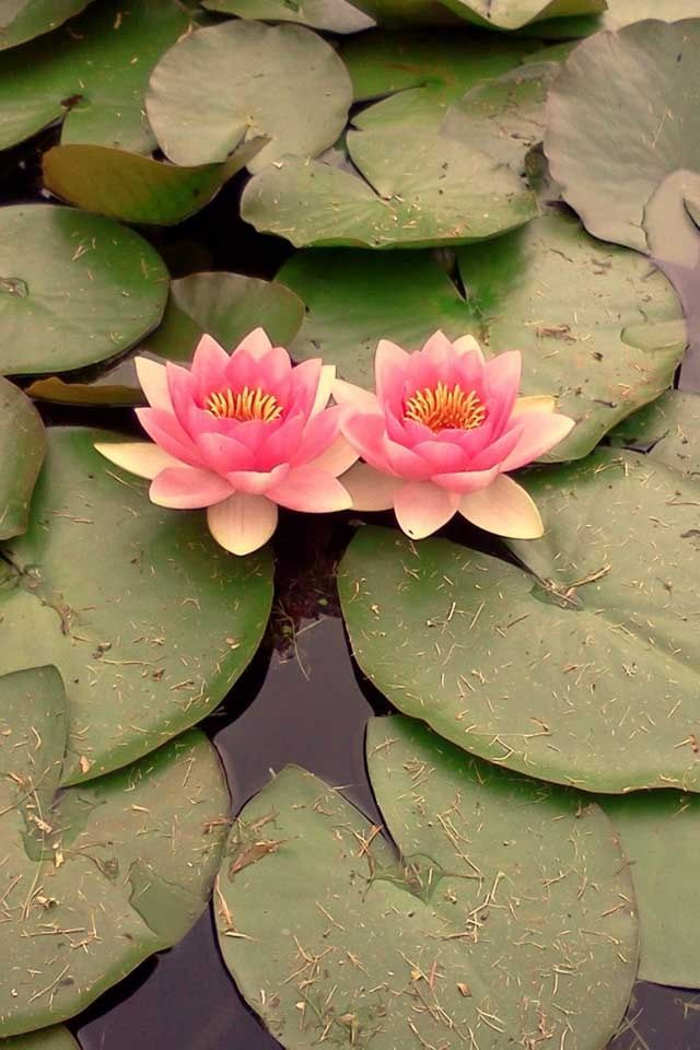 Lily Pads So Pretty And Cute Cool Coloring Water Lilies Lily Pad Flower Lily Pads Coolest lily flower wallpaper images